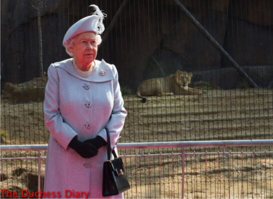 queen elizabeth stares ahead lion exhibit london zoo